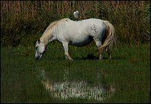 Que mangent les chevaux de Camargue ?