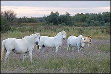 Les chevaux vivent dans les marais de la Camargue, dans le delta du Rhône en...