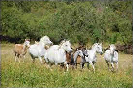 Comment se nomme un élevage de chevaux de Camargue ?