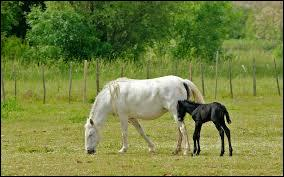 Le cheval de Camargue atteint sa maturité vers l'âge de...