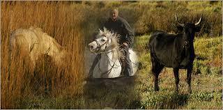Races de chevaux : le cheval de Camargue