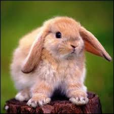 Comment appelle-t-on cette race de lapin présent sur la photo ?
