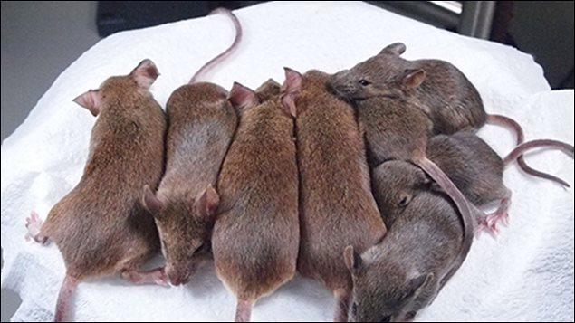 Quizz la souris quiz photos rongeurs souris - Combien de temps dure les coups de soleil ...