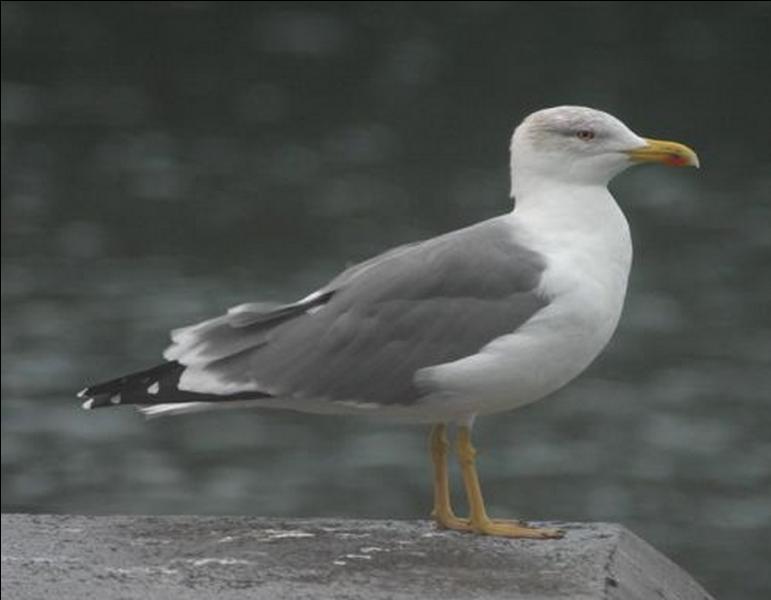 Quel est le nom de cet oiseau marin ?