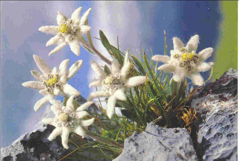 Sous quel nom connaît-on aussi l'edelweiss ?