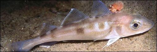Quel est le synonyme du haddock ?