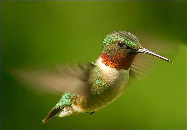 Que sont les oiseaux-mouches ?