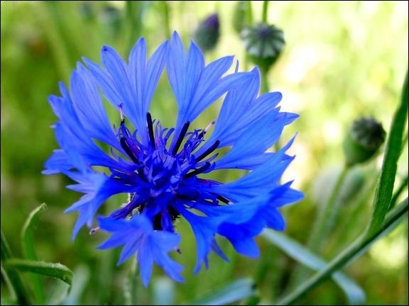 Comment se nomme aussi le bleuet ?
