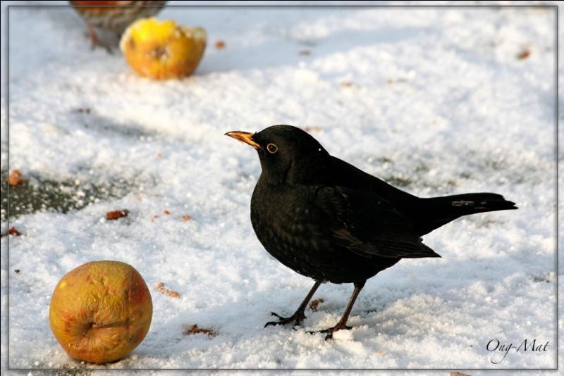 Je vis toute l'année au jardin, à la recherche de vers de terre, de chenilles, d'escargots, de baies. L'hiver, déposez sur le sol des fruits bien mûrs, pourris, pour moi, ... (N'hésitez pas à agrandir les photos pour voir ces oiseaux ! )