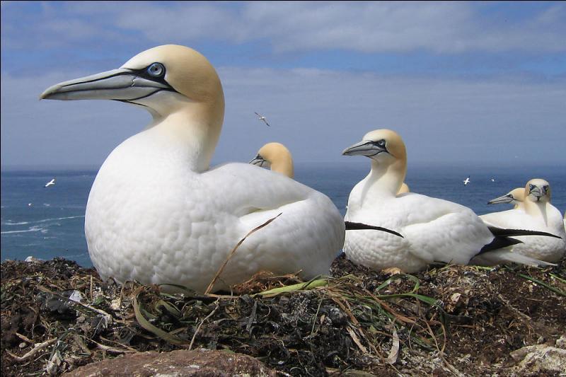 Ce magnifique oiseau marin est appelé Fou de Bassan à cause de l'île de Bass qui abrite des milliers de ses congénères. Dans quel pays est-elle située ?