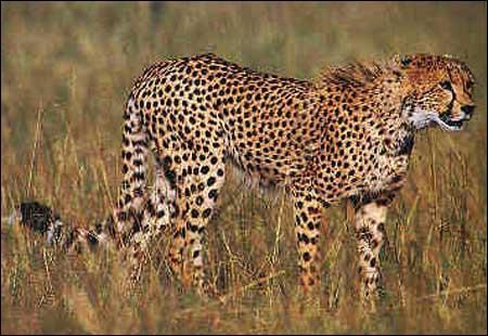 Quizz les animaux de la savane quiz animaux savane - Felin de la savane ...