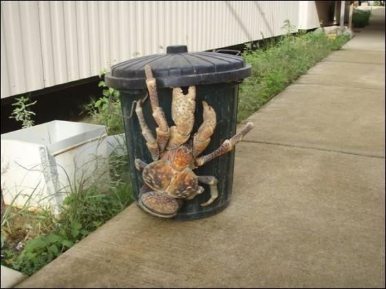 """Pourquoi appelle-t-on ce crabe le """"Crabe du cocotier"""" ?"""