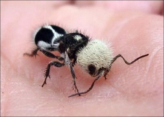 Est-ce que la fourmi-panda est vraiment une fourmi ?