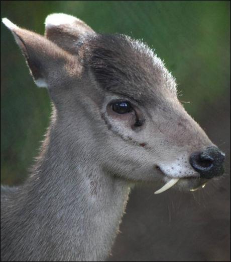 """Que veut dire """"Elaphodus cephalophus"""" qui est le nom scientifique du cerf huppé ?"""