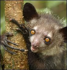 Primate malgache pas très joli.