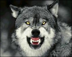 Puisque vous venez de vous jeter dans la gueule du loup, dites-moi donc combien il a de dents :