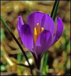 Et celle-ci, qui est aussi une fleur du printemps?