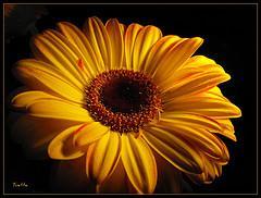 Vous connaissez sûrement cette fleur :