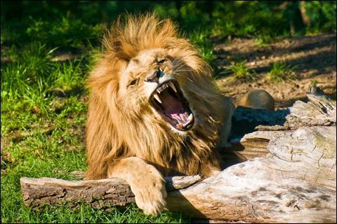 Vous êtes à l'entrée d'une bastide à une seule porte devant laquelle est attaché un lion, mort de faim. Comment allez-vous réussir à entrer sans danger ?