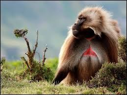 Animaux - De quelle espèce ce grand singe est-il un représentant ?