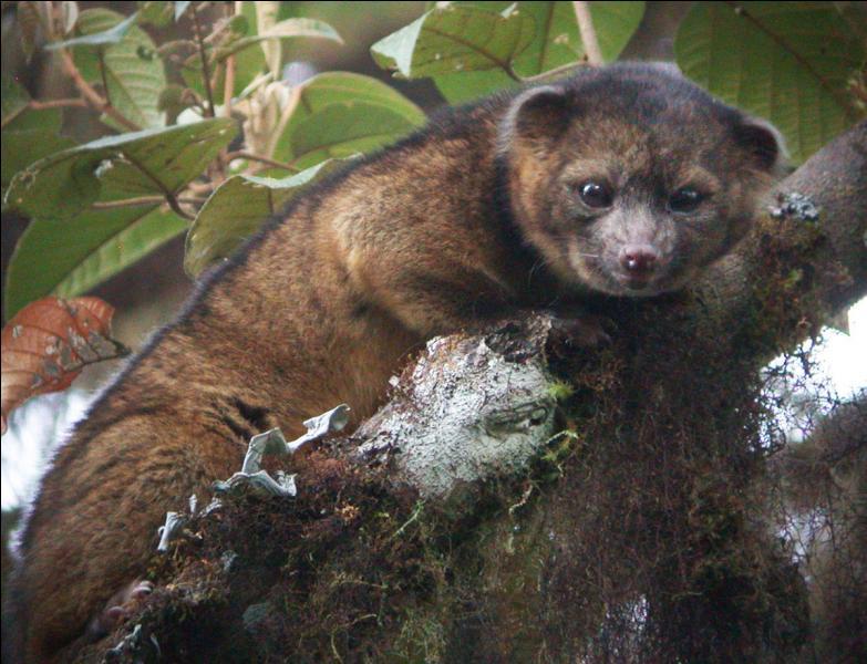 Il y a des dizaines d'années qu'un nouveau mammifère n'avait pas été découvert, celui-ci le fut dans les Andes, en altitude !
