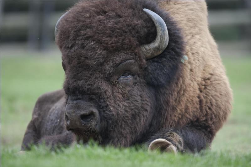 Il parcourut les grandes plaines, appelé buffalo, il est à présent protégé et réintroduit !