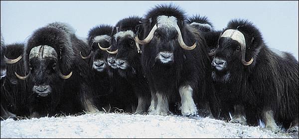 Contrairement à ce que peuvent laisser supposer leur apparence, ces animaux sont des cousins de la chèvre, lors d'une attaque de loups, ils forment un groupe et placent leurs petits à l'intérieur, on les trouve ...