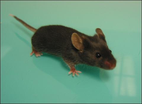 Retrouve le nom de ce petit rongeur, il fait partie des tous premiers personnages Disney !