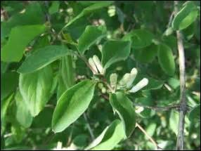 Cet arbuste porte le nom de camérisier en raison des nœuds qui se trouvent sur ses branches. Quel est-il ?