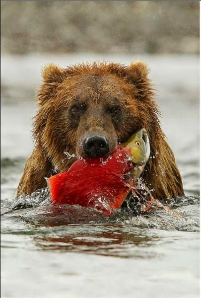 Regardez bien la proie du grizzli, où êtes-vous exactement !
