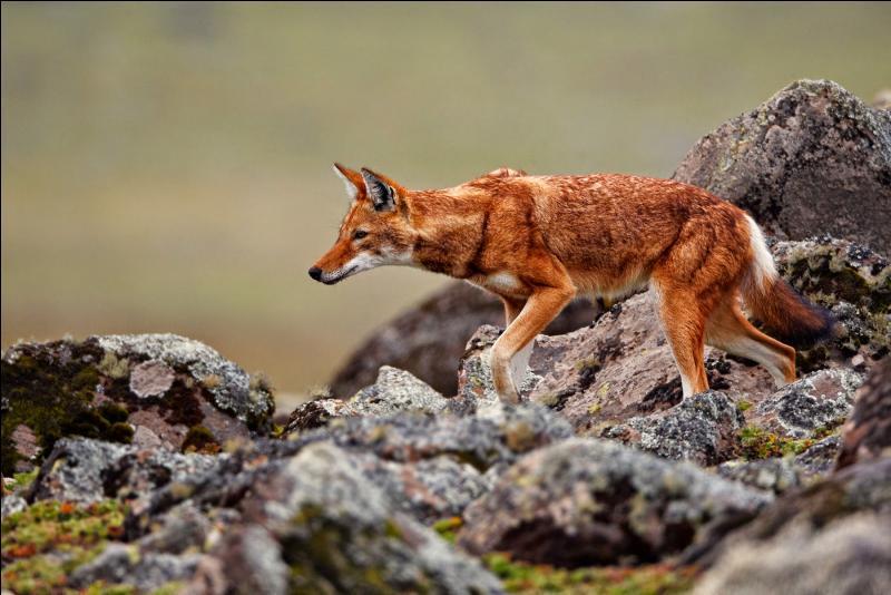 Tous les loups n'ont pas la même allure, quelle destination devez-vous prendre pour admirer celui-ci ?