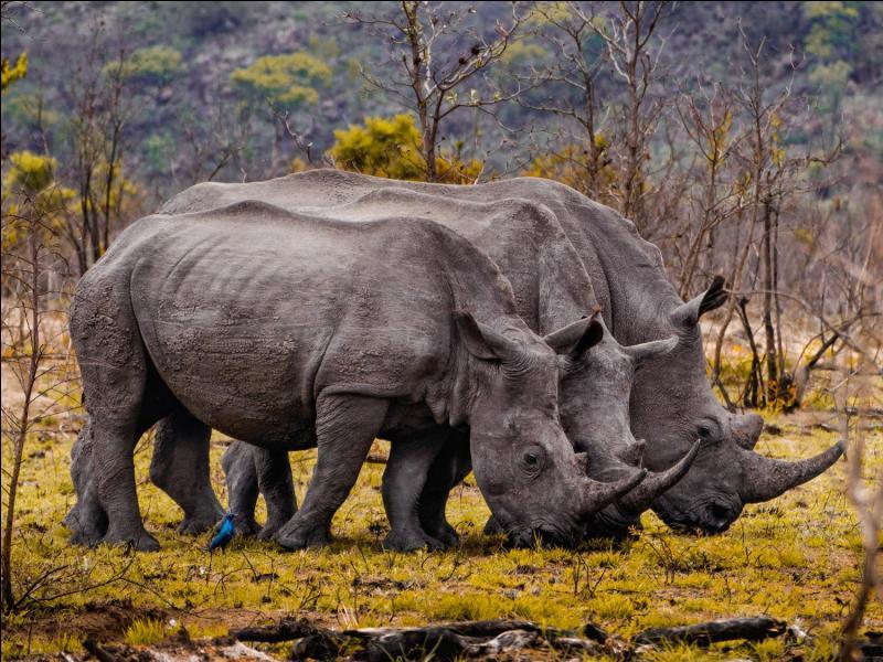 Ces deux rhinocéros broutent de l'herbe, cet indice, en plus de leur apparence, est suffisant pour les identifier !