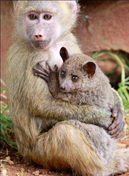 Ce jeune babouin semble apprécier la compagnie de cet animal, mais savez-vous de quel animal il s'agit ?