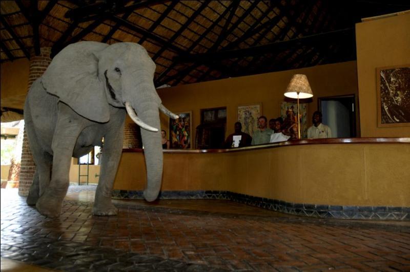 L'éléphant est connu pour sa mémoire, mais ce n'est pas sa seule qualité, il est également très curieux, celui-ci est adulte, savez-vous d'où il est originaire ?