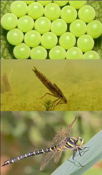 Quelle est la durée de vie d'une libellule ?