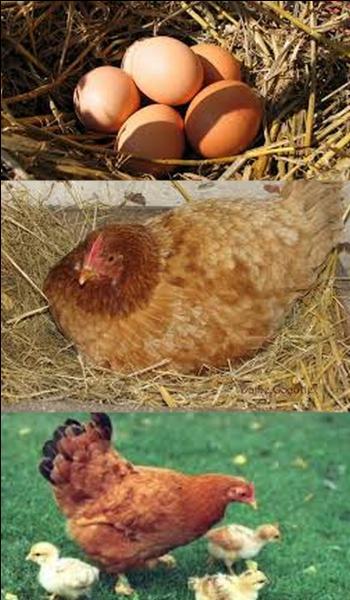 Combien de temps une poule couve-t-elle ?