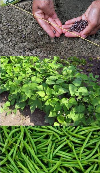 Quand les haricots peuvent être mis en terre ?