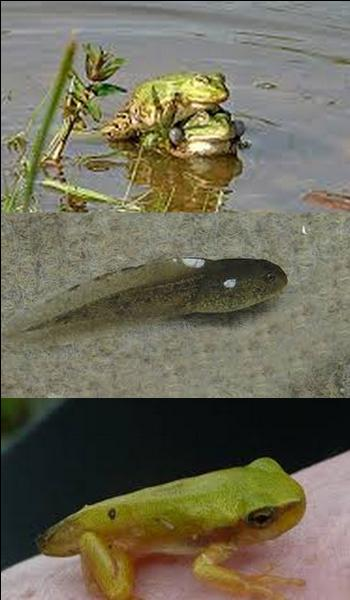 Combien de temps faut-il à un têtard pour devenir une grenouille ?