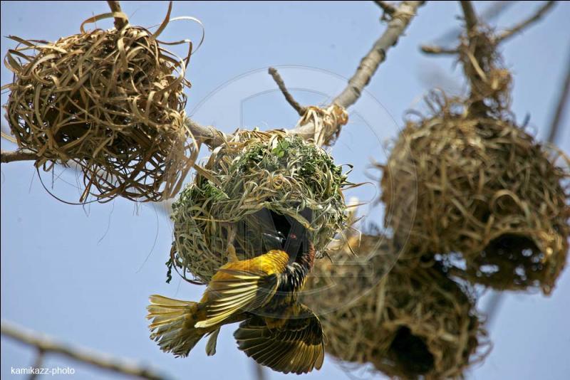 Et voici le nid du ... .