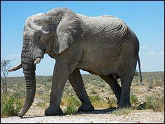 L'éléphant est un animal :