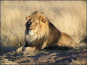 Le lion est un animal :