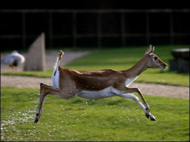 L'antilope est un animal :
