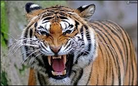 Le tigre est un animal :