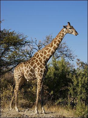 La girafe est un animal :