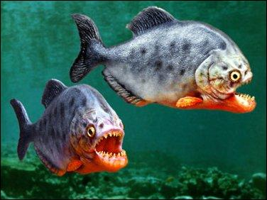 Le piranha est un animal :