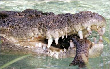 Le crocodile est un animal :