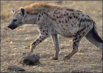 La hyène est un animal :