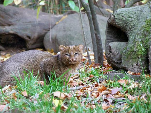 Emblématique d'une région (et d'un département) française, vous pourrez admirer ce mystérieux et rare félin, dans le zoo correspondant à son lieu de naissance !