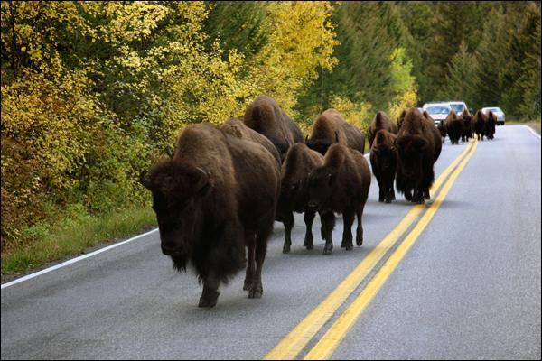 De tels animaux sur une route, avouez que ce n'est pas courant, néanmoins il existe un endroit dans le monde où ce spectacle n'étonne plus personne !