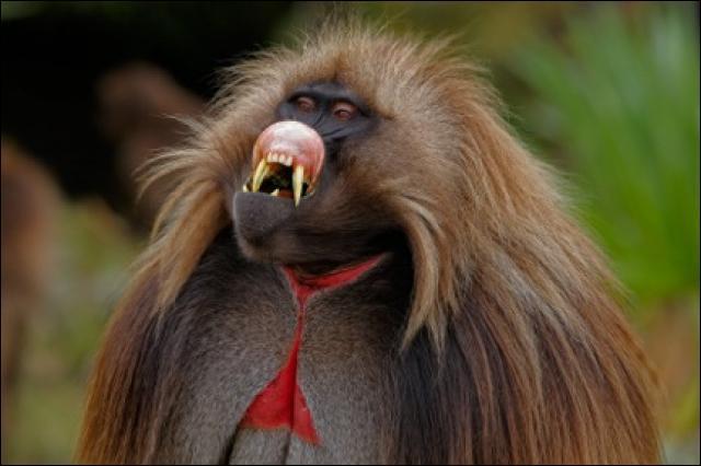Pour voir de tels primates, prenez de la hauteur, et surtout prenez l'avion pour ...